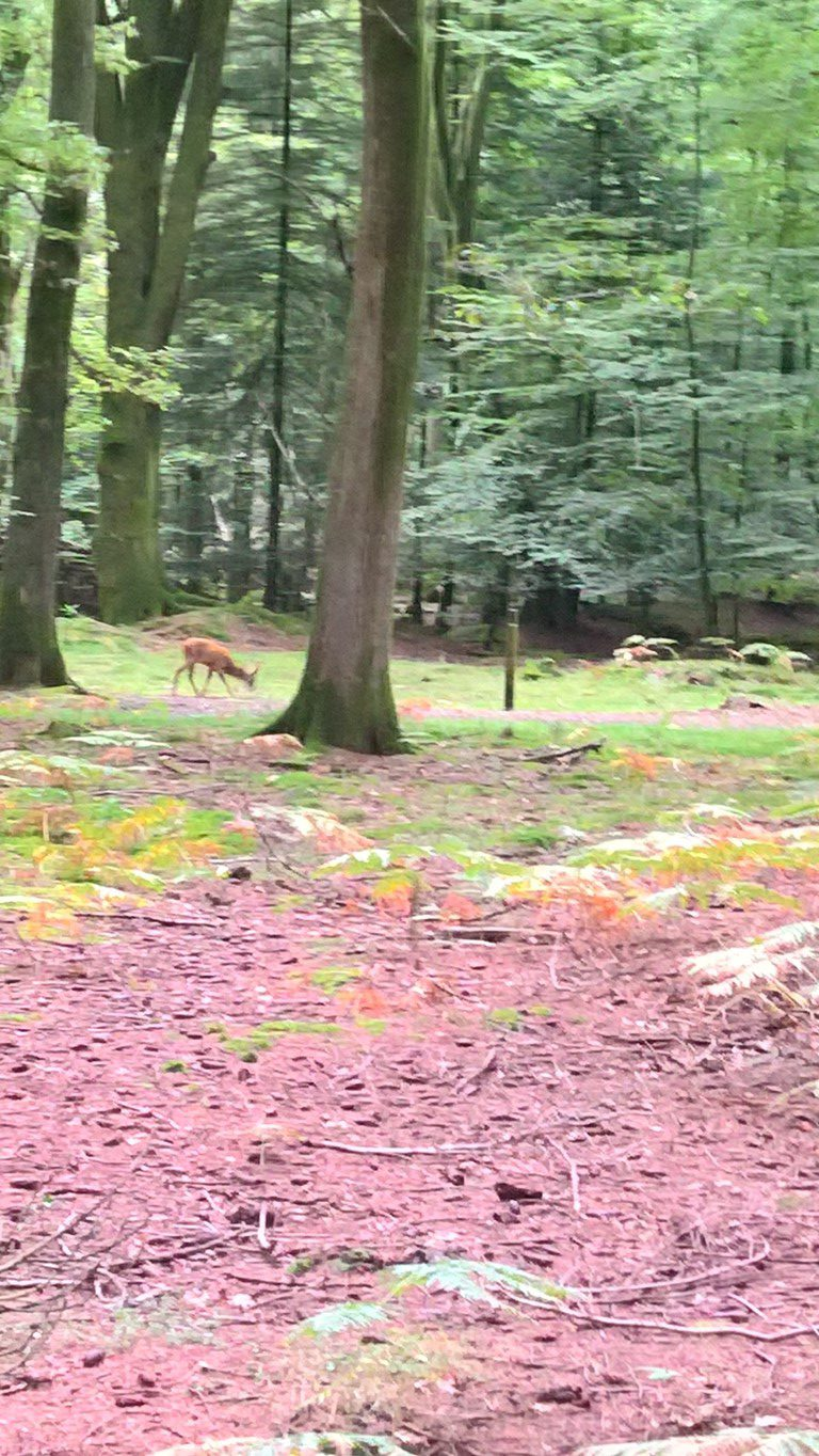 Deer in the new forest , Range rover camper P38