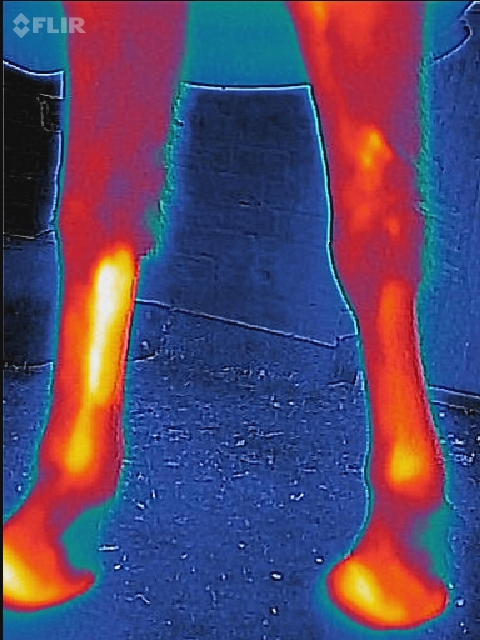 thermal imaging of the legs of our horse after a short ride, checking for heat build up. Betchton Manor